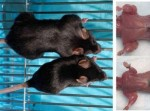 follistatin inhibits myostatin protein in mice