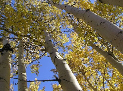 pando trembling giant tree