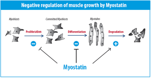 the myostatin regulation pathway